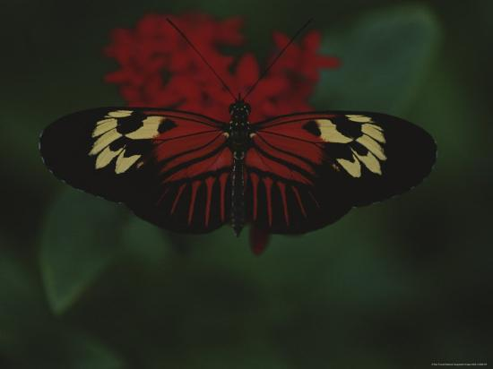A Close View of a Red and White Butterfly on a Red Flower-Raul Touzon-Photographic Print