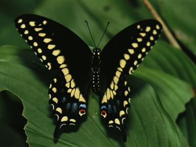 A Close View of a Tiger Swallowtail Butterfly-Medford Taylor-Photographic Print