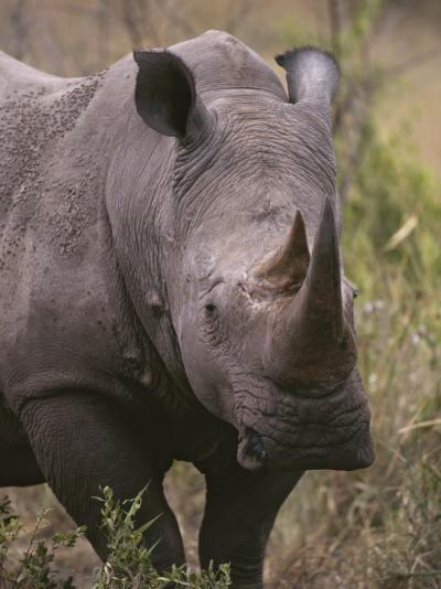 A Close View of a White Rhinoceros, Ceratotherium Simum-Tim Laman-Photographic Print