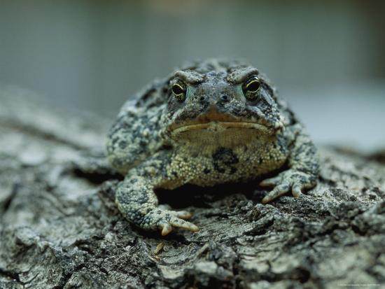 A Close View of a Wyoming Toad-Joel Sartore-Photographic Print