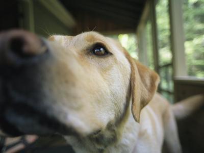 A Close View of a Yellow Labrador Retriever-Heather Perry-Photographic Print