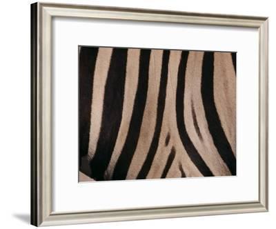 A Close View of a Zebras Stripes-Michael Nichols-Framed Photographic Print