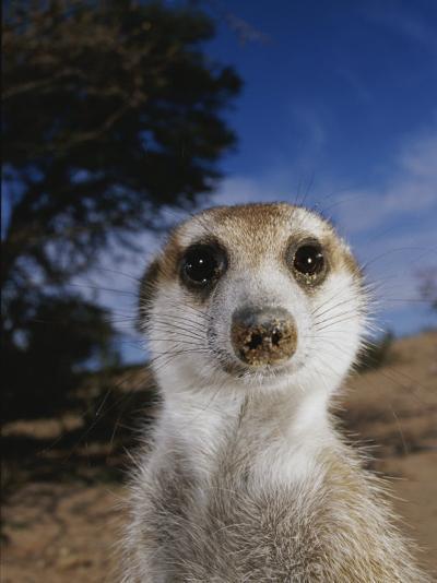 A Close View of an Adult Meerkat (Suricata Suricatta)-Mattias Klum-Photographic Print