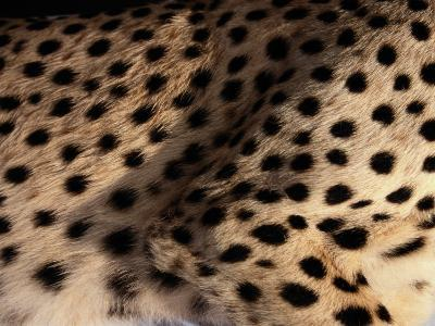A Close View of an African Cheetahs Spotted Fur-Chris Johns-Photographic Print