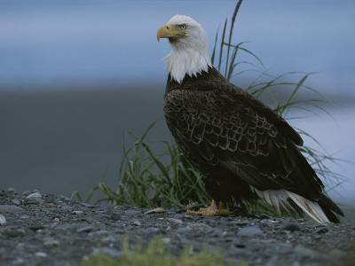 A Close View of an American Bald Eagle in Profile-Roy Toft-Photographic Print