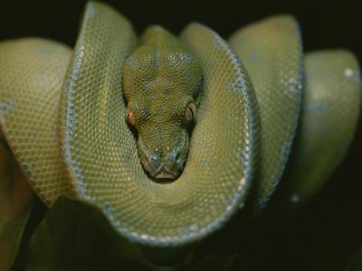 A Close View of an Immature Resting Green Tree Python-Taylor S^ Kennedy-Photographic Print