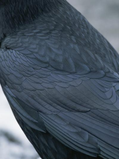 A Close View of the Back and Wing of a Raven-Tom Murphy-Photographic Print