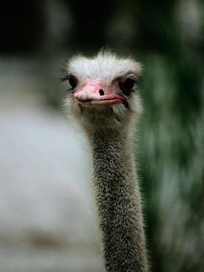 A Close View of the Face of a Captive Ostrich-Tim Laman-Photographic Print