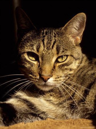 https://imgc.artprintimages.com/img/print/a-close-view-of-the-face-of-a-curious-domestic-tabby-cat_u-l-p4pe6v0.jpg?p=0