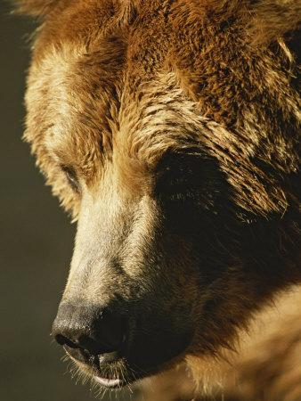 A Close View of the Face of a Grizzly Bear-Tom Murphy-Photographic Print