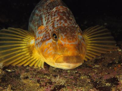 A Close View of the Face of a Member of the Rockfish Family-Bill Curtsinger-Photographic Print