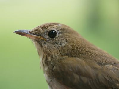 A Close View of the Head and Shoulders of a Wren-Bill Curtsinger-Photographic Print