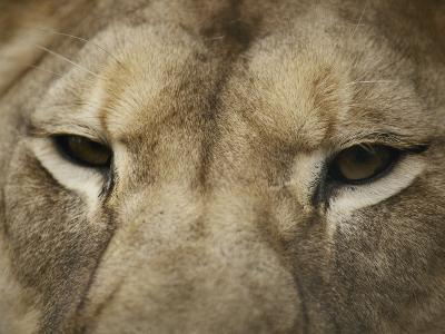 A Close View of the Head of a Lion-Jason Edwards-Photographic Print