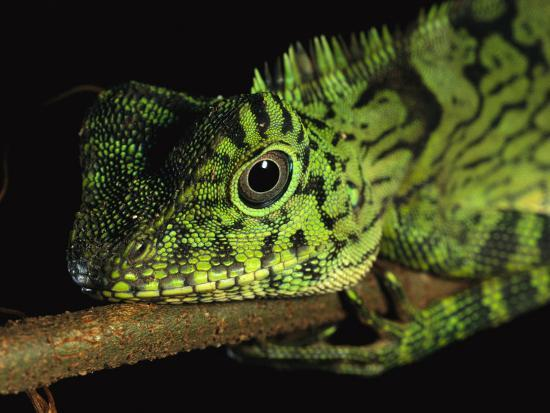 A Close View of the Head of a Lizard Lying Along a Branch-Tim Laman-Photographic Print