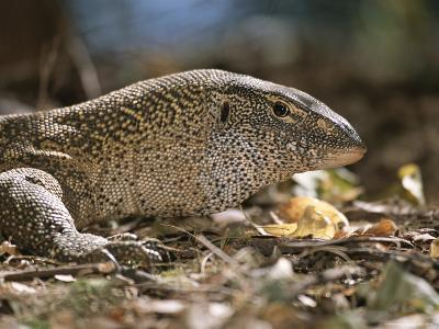 A Close View of the Head of a Monitor Lizard-Roy Toft-Photographic Print