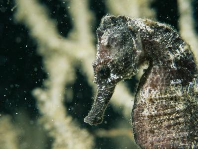 A Close View of the Head of a Sea Horse with a Coral Backdrop-Tim Laman-Photographic Print