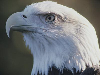 A Close View of the Head of an American Bald Eagle-Joel Sartore-Photographic Print