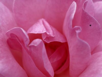A Close View of the Petals of a Pink Rose-Todd Gipstein-Photographic Print