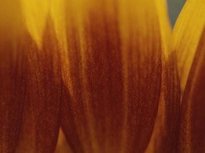 A Close View of the Petals of a Sunflower-Raul Touzon-Photographic Print