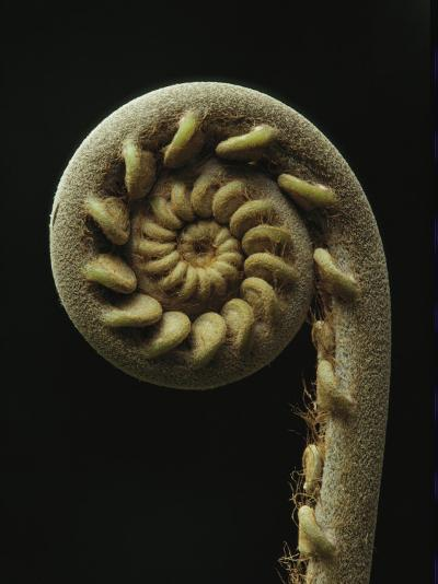 A Close View of the Spiral of a Fern Fiddlehead-Tim Laman-Photographic Print