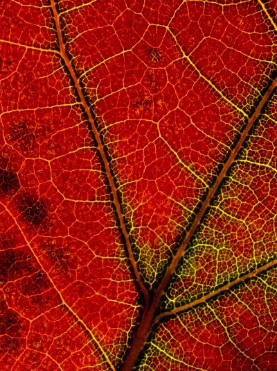 A Close View of the Veins of a Colorful Maple Leaf in Autumn-George F^ Mobley-Photographic Print
