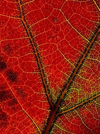 https://imgc.artprintimages.com/img/print/a-close-view-of-the-veins-of-a-colorful-maple-leaf-in-autumn_u-l-p3jphh0.jpg?p=0