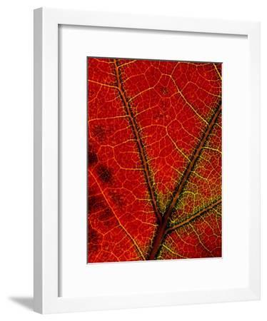 A Close View of the Veins of a Colorful Maple Leaf in Autumn-George F. Mobley-Framed Photographic Print