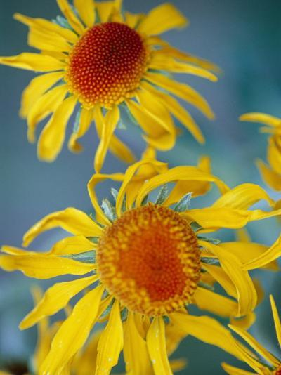 A Close View of Two Daisies-Raul Touzon-Photographic Print