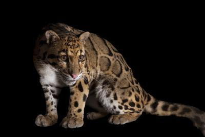 A Clouded Leopard, Neofelis Nebulosa-Joel Sartore-Photographic Print