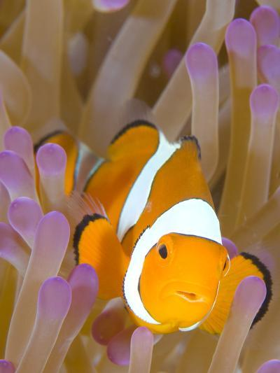 A Clown Anemonefish in a Purple Anemone, Papua New Guinea-Stocktrek Images-Photographic Print