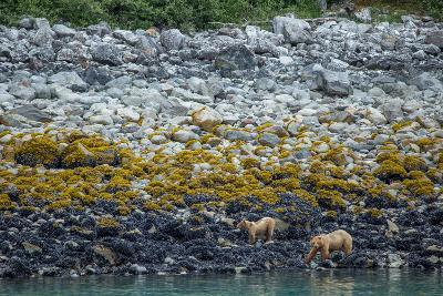 A Coastal Brown Bear Female and Cub Forage for Mussels on the Shoreline-Erika Skogg-Photographic Print