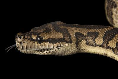 A Coastal Carpet Python, Morelia Spilota Mcdowelli, at the Wild Life Sydney Zoo-Joel Sartore-Photographic Print