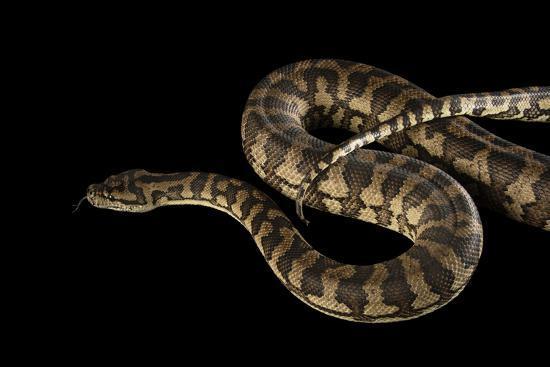 A Coastal Carpet Python, Morelia Spilota Mcdowelli, at the Wild Life Sydney Zoo-Joel Sartore-Photographic Print