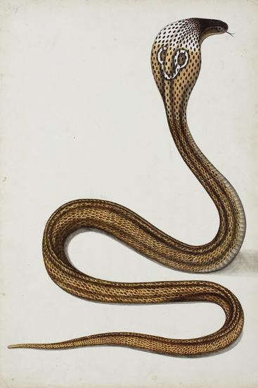 A Cobra (Maja Tripudians) with Hood Spread, 1785-89--Giclee Print