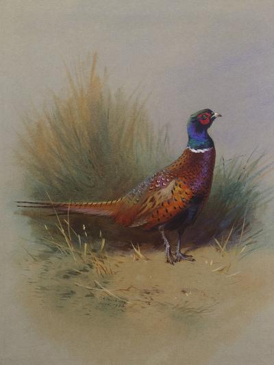 A Cock Pheasant-Archibald Thorburn-Giclee Print