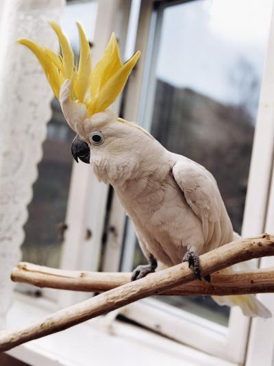 A Cockatoo--Photographic Print