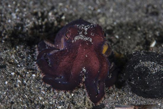 A Coconut Octopus Crawls across the Sandy Seafloor-Stocktrek Images-Photographic Print