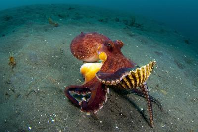 A Coconut Octopus, Lembeh Strait, Sulawesi, Indonesia--Photographic Print