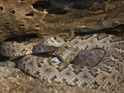 A Coiled Western Diamondback Rattlesnake (Crotalus Atrox), Madera Canyon, Arizona, USA-Don Grall-Photographic Print