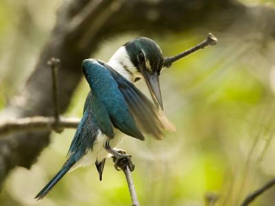 A collared kingfisher perches and preens in the mangroves-Tim Laman-Photographic Print