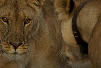A Collared Lioness Face to Face with Another Lioness-Michael Nichols-Photographic Print