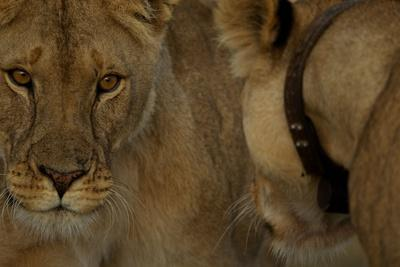 https://imgc.artprintimages.com/img/print/a-collared-lioness-face-to-face-with-another-lioness_u-l-pswuxq0.jpg?p=0