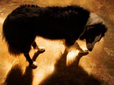 A Collie Dog Standing in the Evening Sunlight-Susan Bein-Photographic Print