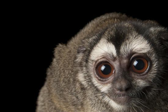A Colombian Night Monkey, Aotus Lemurinus, at the Houston Zoo-Joel Sartore-Photographic Print