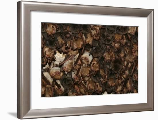 A Colony of Bats Roosting in the Sof Omar Caves-Cagan Sekercioglu-Framed Photographic Print