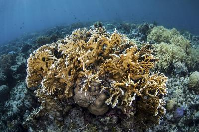 A Colony of Fire Coral Grows Near Alor, Indonesia-Stocktrek Images-Photographic Print