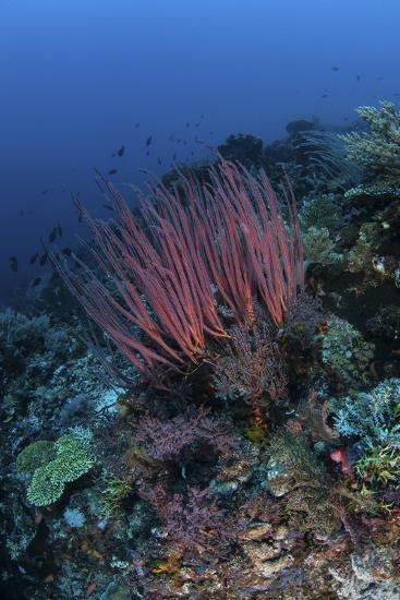 A Colony of Sea Whips Grows on a Coral Reef in Indonesia-Stocktrek Images-Photographic Print