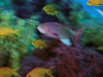 A Colorful Anthias Fish Swims About a Reef-Tim Laman-Photographic Print