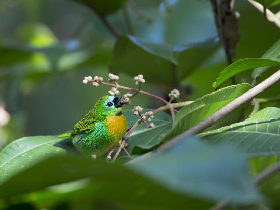 A Colorful Brassy-Breasted Tanager, Tangara Desmaresti, Sits on a Branch-Alex Saberi-Photographic Print