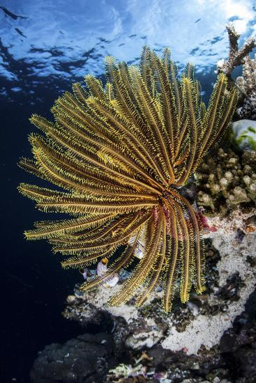 A Colorful Crinoid Clings to a Reef Dropoff in Raja Ampat-Stocktrek Images-Photographic Print